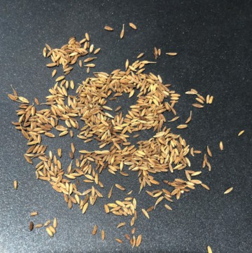 Roasting cumin seeds for mint raita